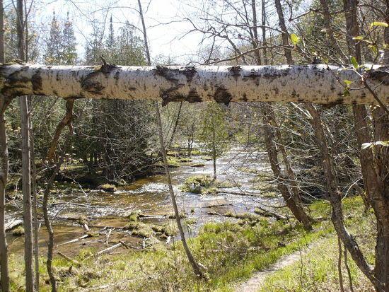 Birch over river