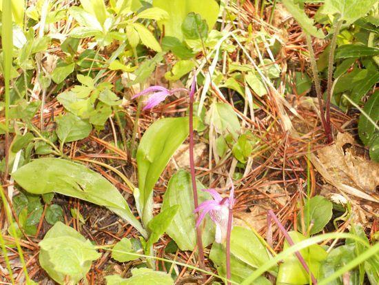 Calypso Orchid A