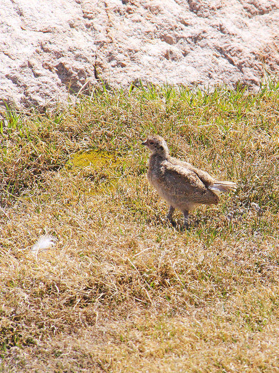 Juvenile Greater Sage Grouse