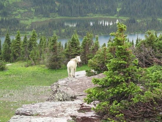 goat logan