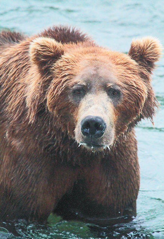 Alaskan Coastal Brown Bear