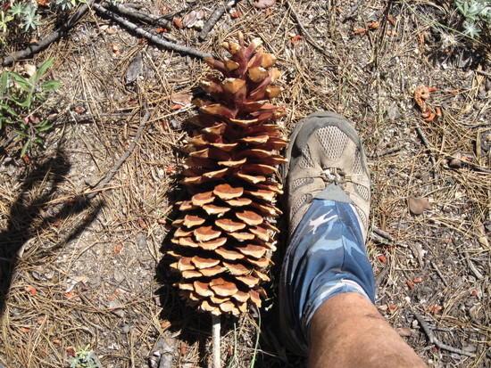 Yosemite Pine Cone