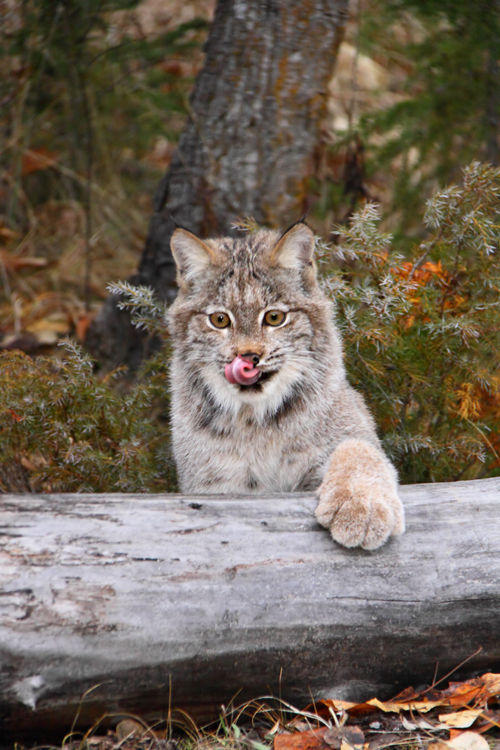 bobcat in camp