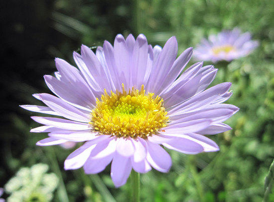 Alpine Aster or Wandering Daisy?