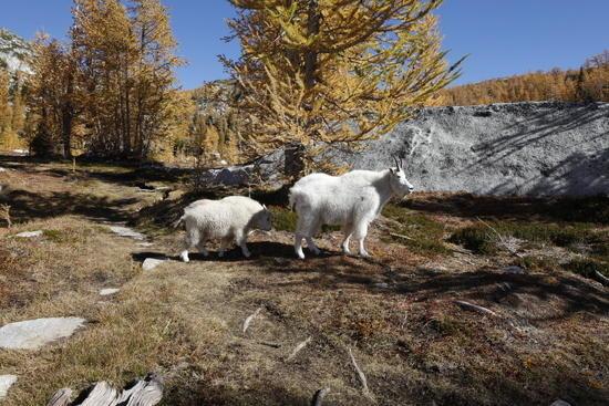 Mountain goats along trail to Prusik Pass