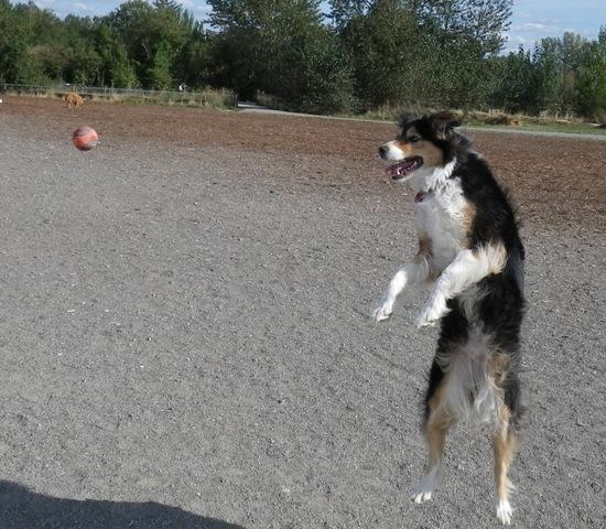 Dog with fly ball