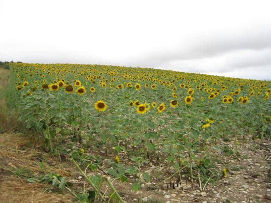 first of many fields of sunflowers