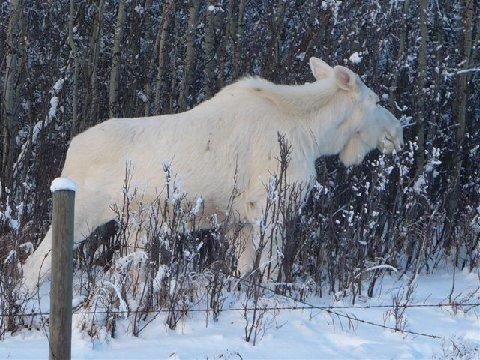 SNOW MOOSE 4