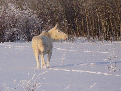 SNOW MOOSE 5