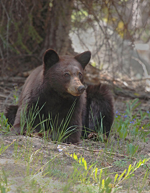 Yosemite black bear (Ursus americanus) photo by B.G.