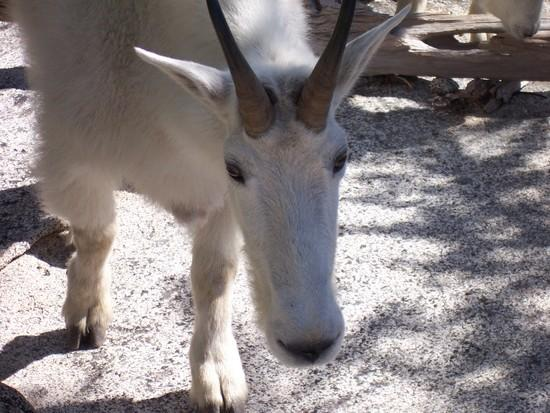 Goat, Enchantments