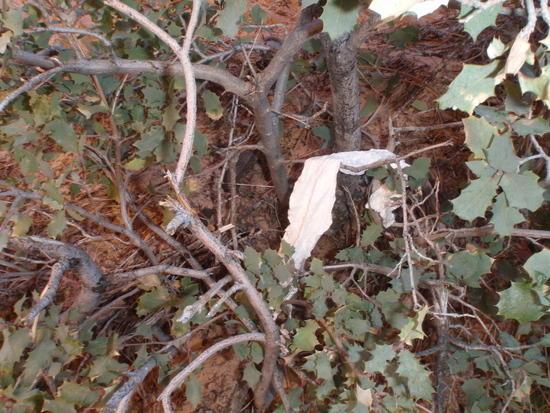 Toilet paper in Manzanita  bush at Scouts Lookout