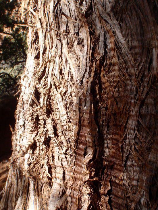 Pinion Tree bark