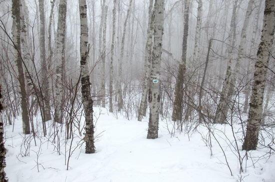 birch in mist