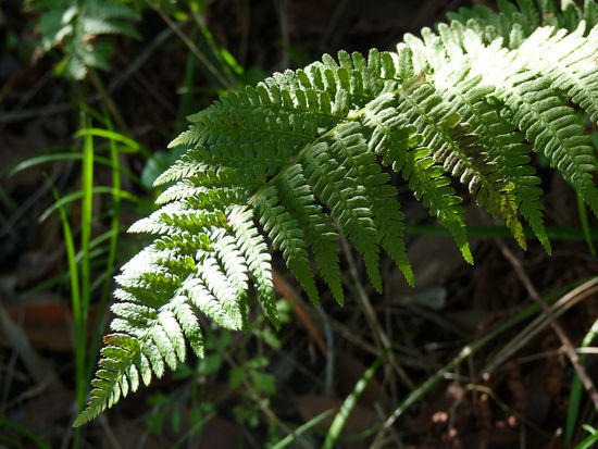 Shadowed Fern
