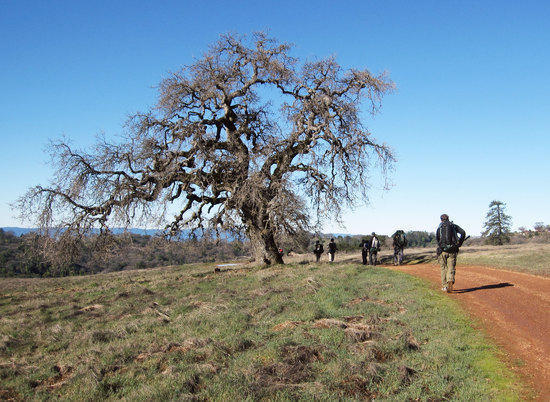 One of Many Old Oak Trees
