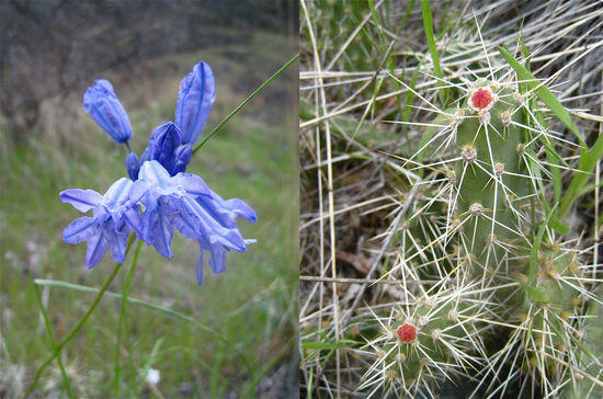 The canyon in bloom.  Upland larkspur on the left (I think), and prickly pear on the right.