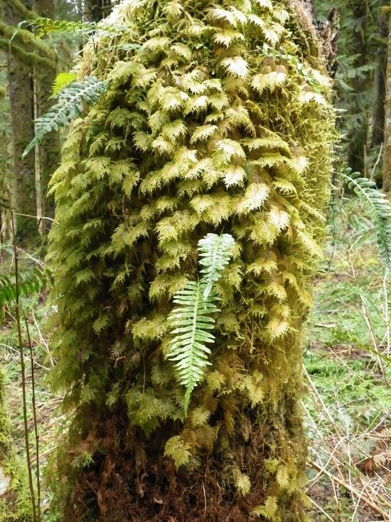 Moss and ferns, Middle Fork Snoqualmie Trail