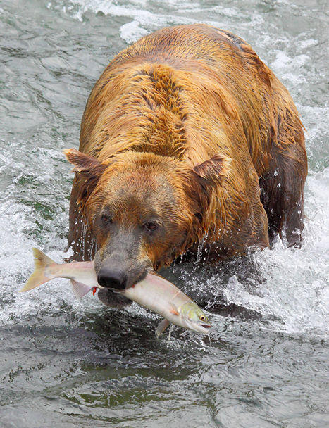 Alaskan Coastal Brown Bear with Sockeye Salmon
