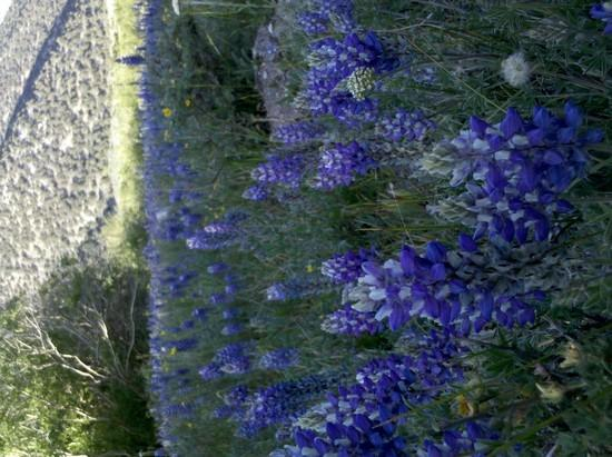 Lupine in Chiatovich Canyon