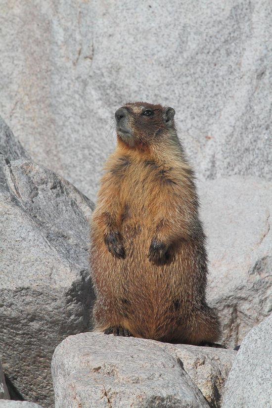 marmot standing upright