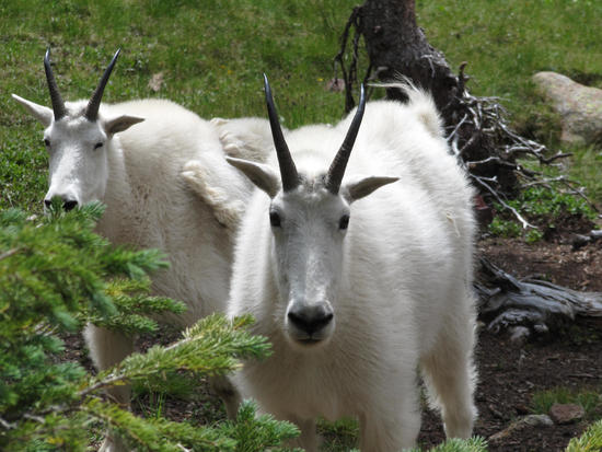 Goats in Chicago Basin