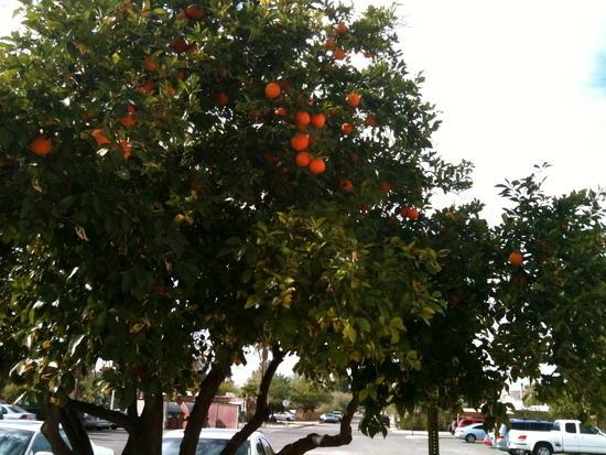 Oranges in Tucson