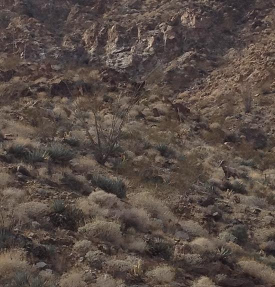 Butler Canyon Bighorns