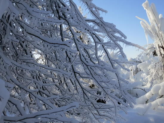 iced trees 1