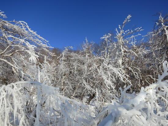 iced trees 4