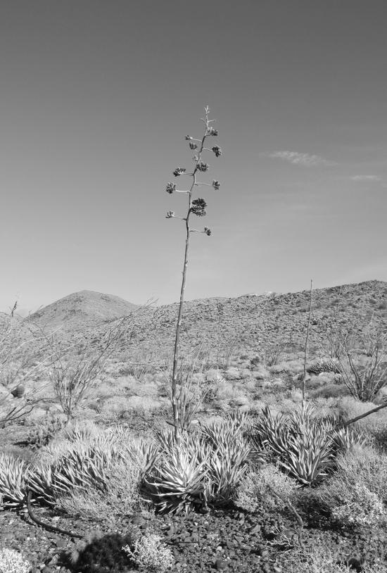b and w cactus