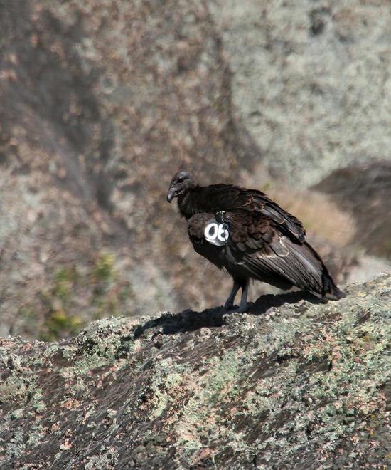 California condor adolescent