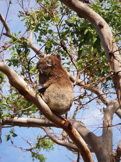 GOW koala