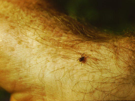 close up tick photo