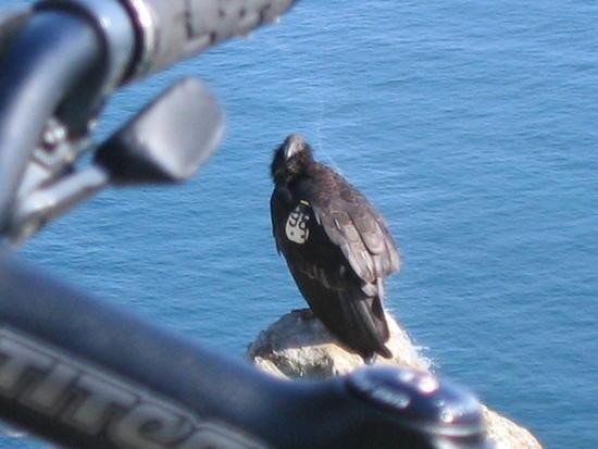 Condor!