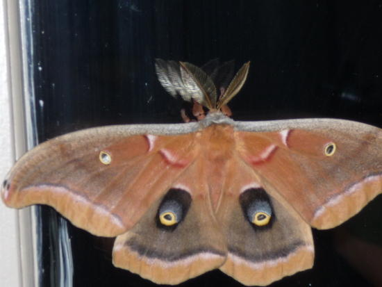 The Easter Moth