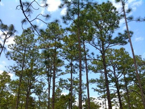 Hypnotic pines
