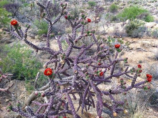 Christmas tree cactus in bloom