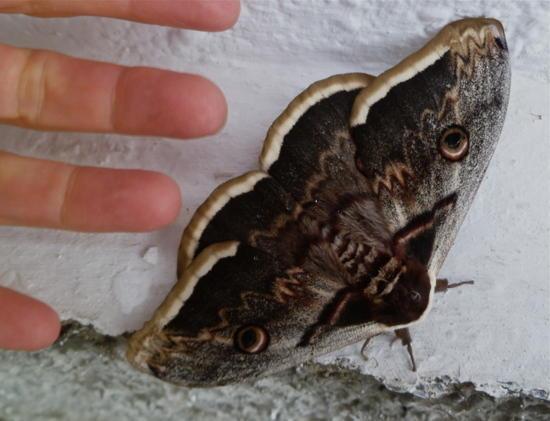 spain moth