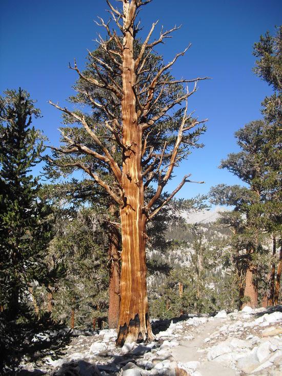 Fxt Pine