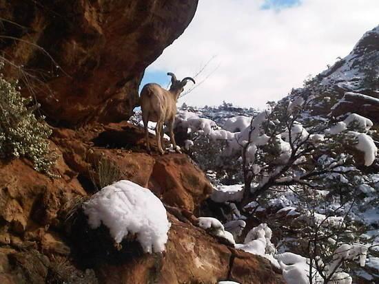 Bighorn Sheep Zion