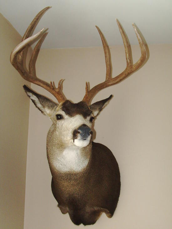 Mule deer/ whitetail deer cross buck