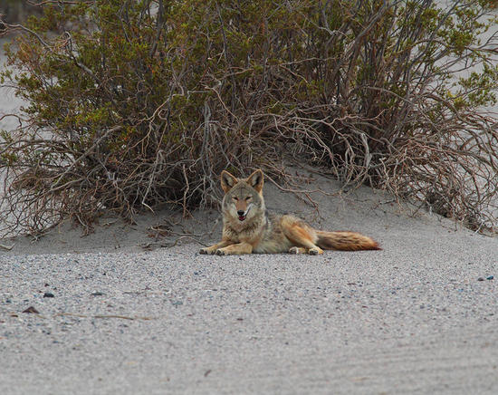 Coyote in Death Valley sand dunes