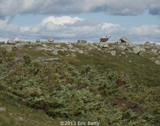 Big Caribou along the north rim