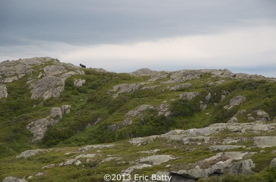 Moose on the long range
