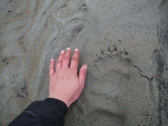bear tracks puk