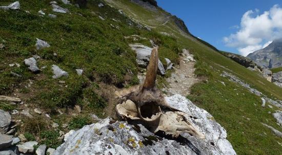 """avalanche victim (skull of a """"Gämse"""")"""