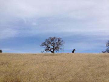 Oak tree Coe park